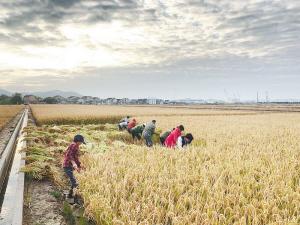 舟山岱山县盐碱地上试种水稻并获得丰收