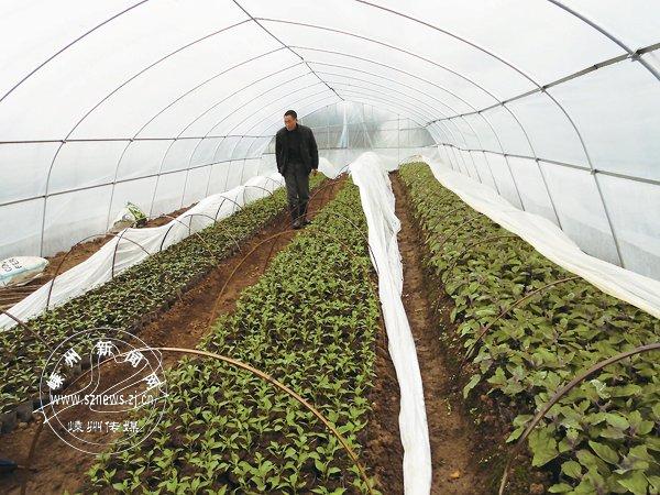 """begin-->   俗话说,""""二月十二,凡种子可落地"""",意思就是说,随着天气的转暖,许多种子都可开始大棚、小棚或温室育苗了。在以黄泽镇普安村为中心的省首批现代农业蔬菜精品园基地里,茄子、豌豆等各类蔬菜已茁壮成长,近日就可移到大田里露天栽种了。"""