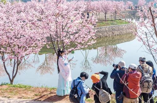 兰溪十万株樱花引客来