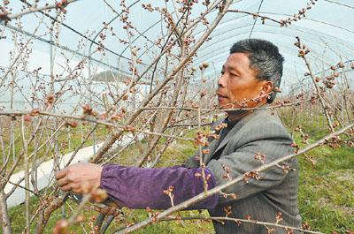给樱桃树剪枝施肥,迎接收获