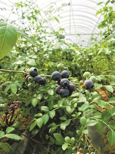 萧山义桥让盆栽蓝莓走进居民家中